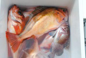 オキメバル 釣果23匹(10匹食べた後での撮影)